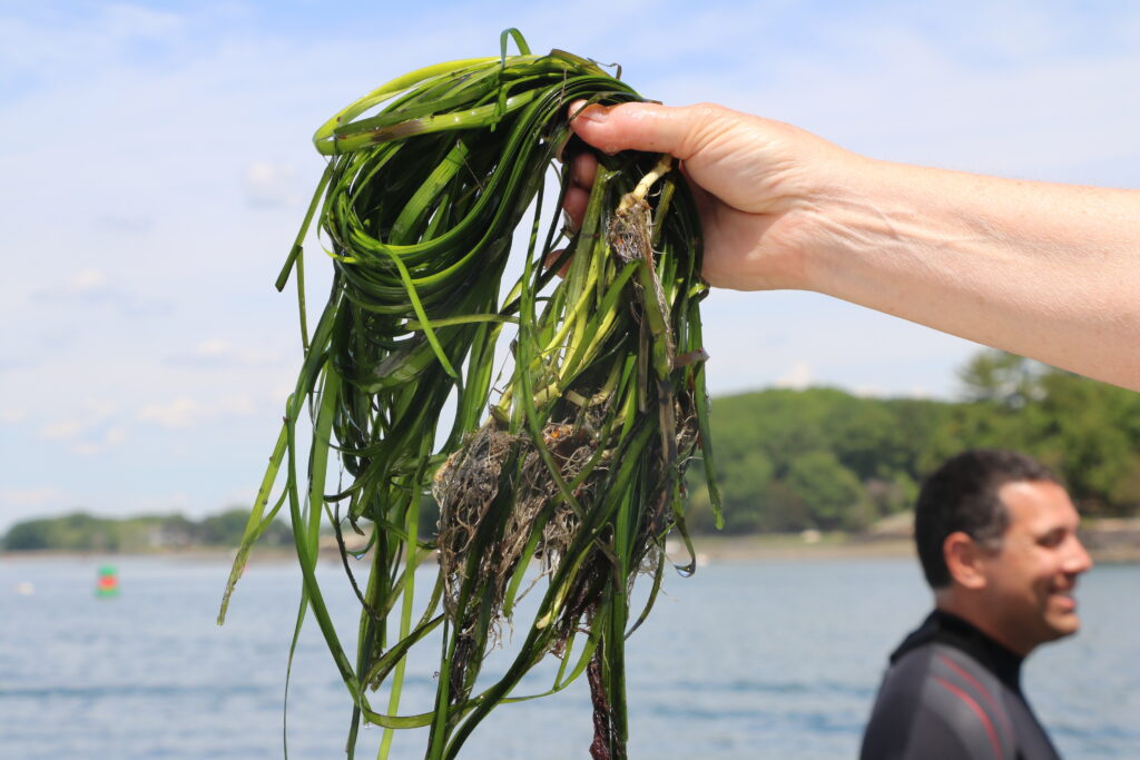 A scientist holds a clump of eelgrass
