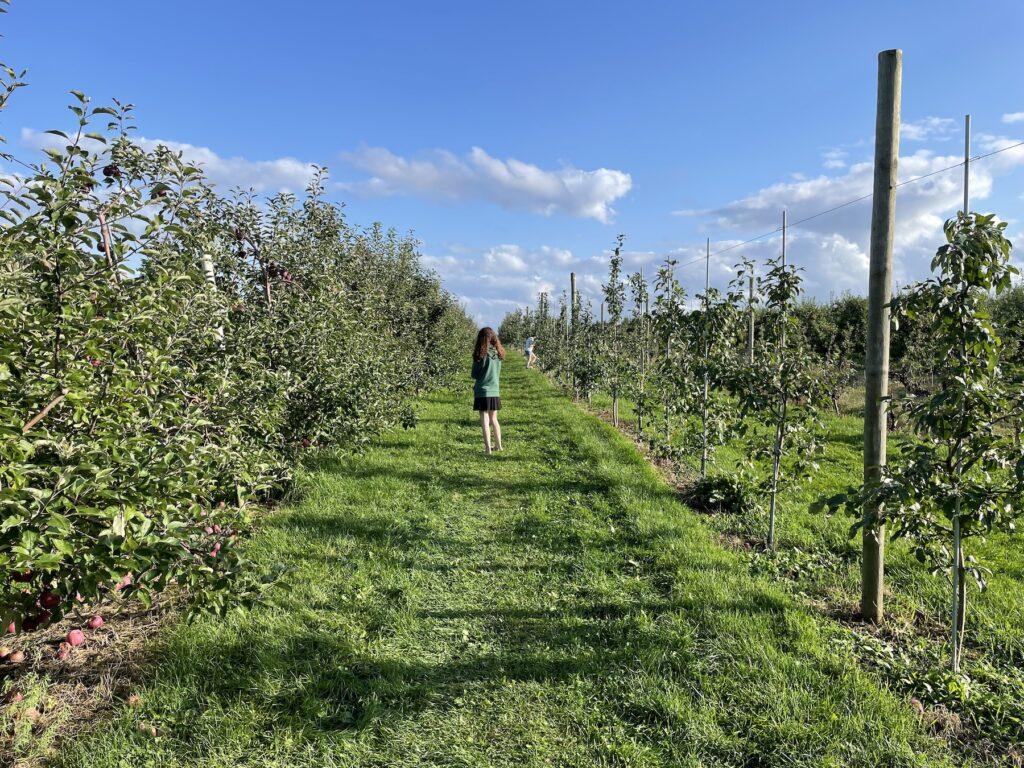 An apple orchard beneath a bright blue sky