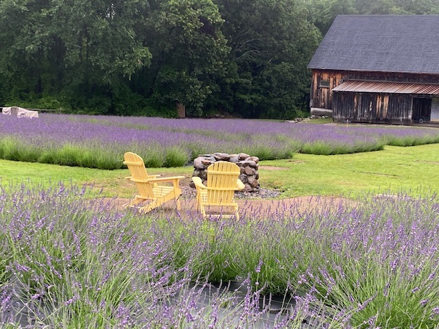 Adirondack chairs near a lavender field